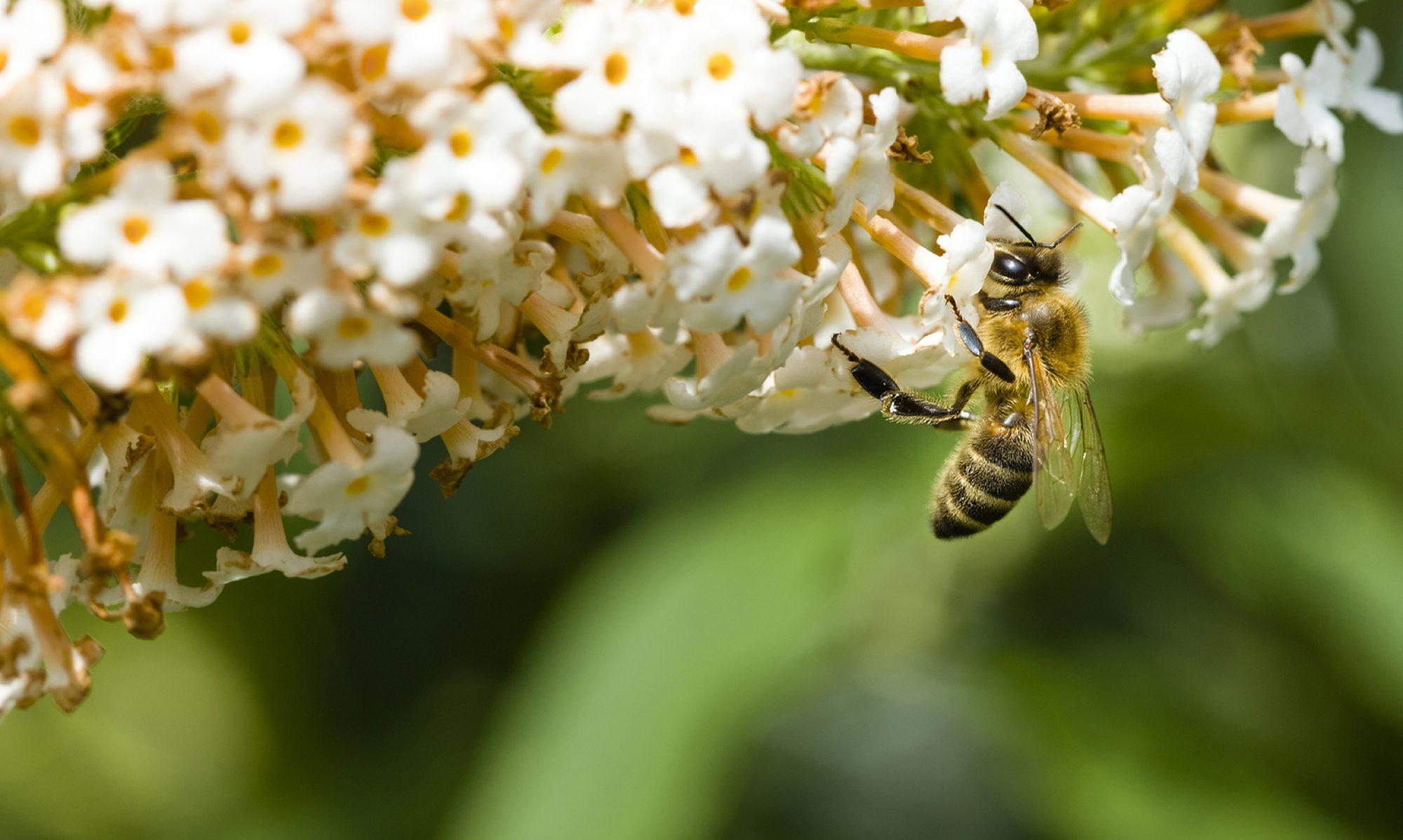 Bijen in Boxtel